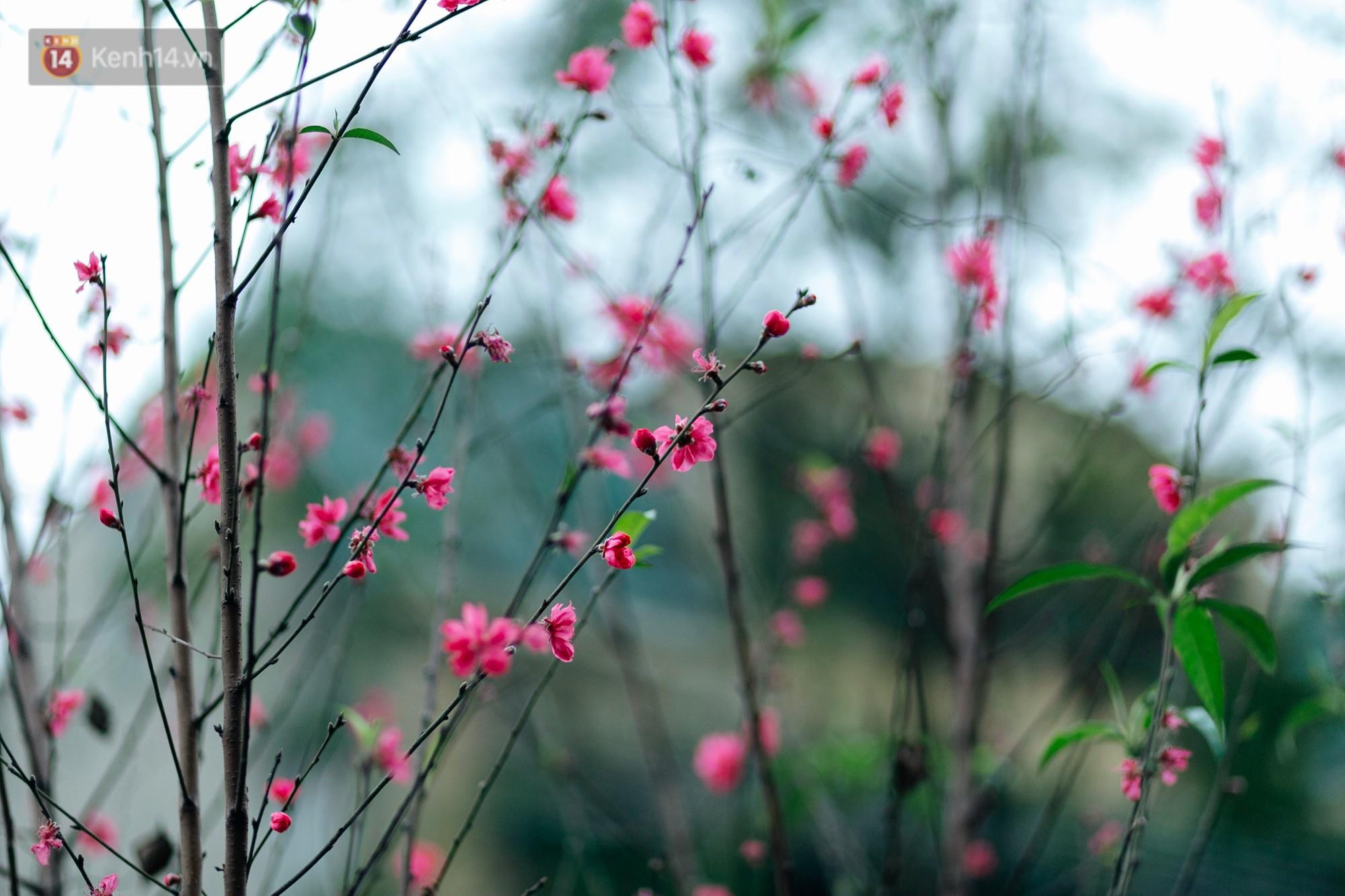 Chùm ảnh: Hoa đào đã nở đỏ rực trên những tuyến phố Hà Nội, Tết đã đến rất gần rồi! - Ảnh 14.