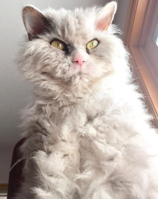 Gặp gỡ Albert: Con mèo lông xoăn trông lúc nào cũng cáu bẳn cục súc đang là hiện tượng MXH - Ảnh 3.