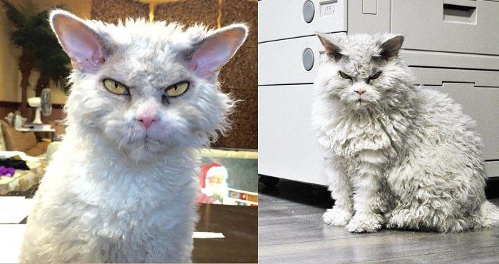 Gặp gỡ Albert: Con mèo lông xoăn trông lúc nào cũng cáu bẳn cục súc đang là hiện tượng MXH - Ảnh 1.