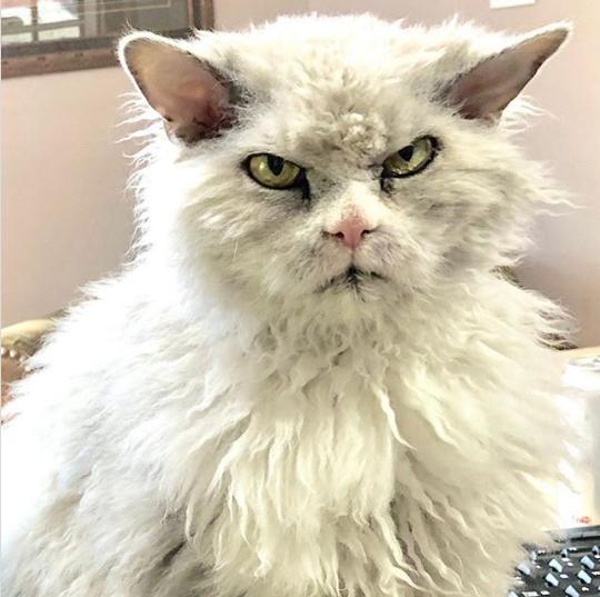 Gặp gỡ Albert: Con mèo lông xoăn trông lúc nào cũng cáu bẳn cục súc đang là hiện tượng MXH - Ảnh 2.