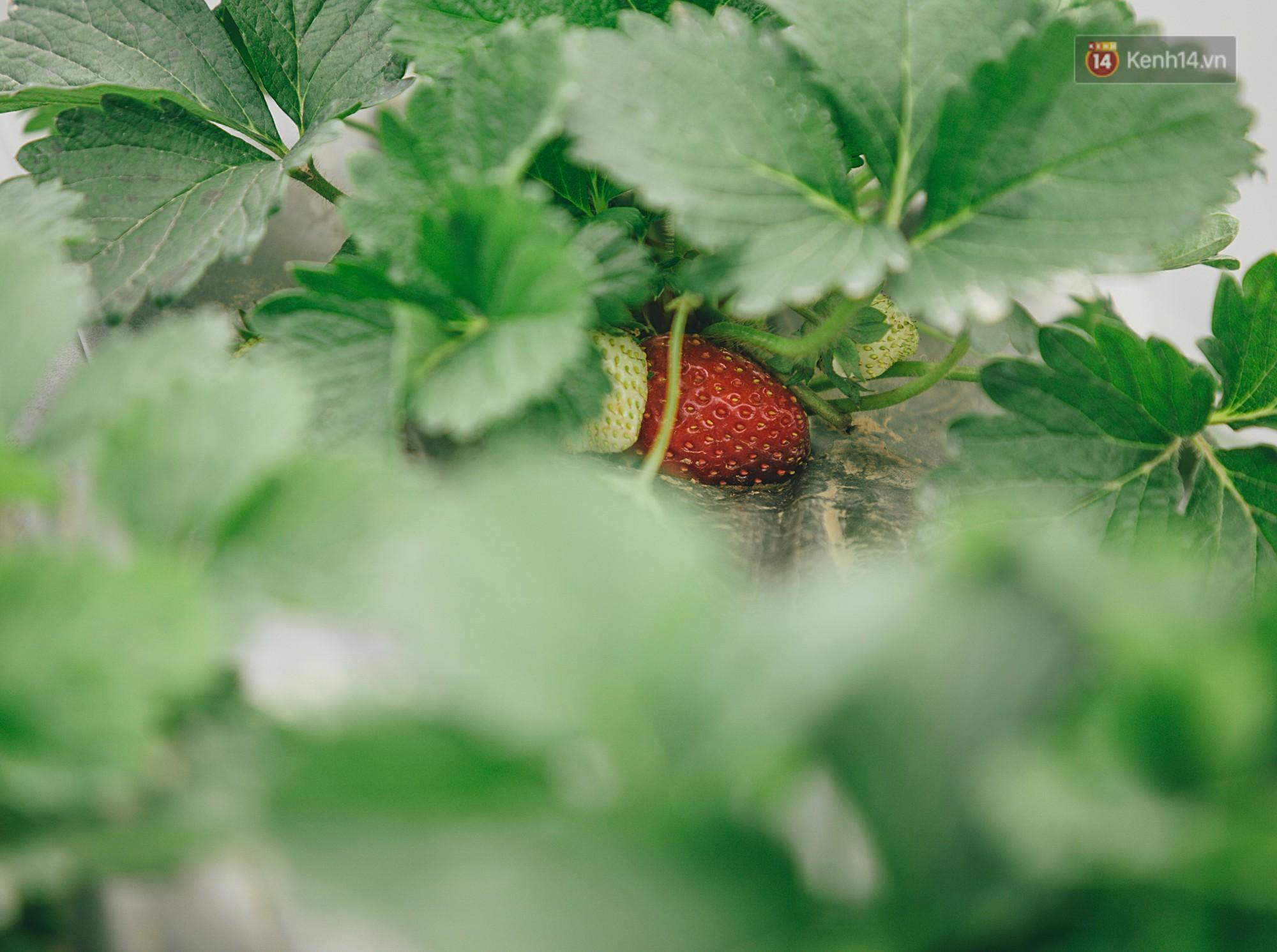 Không cần mất công đi Mộc Châu, một vườn dâu tây đã có ngay ở Hà Nội phục vụ Tết nguyên đán - Ảnh 7.