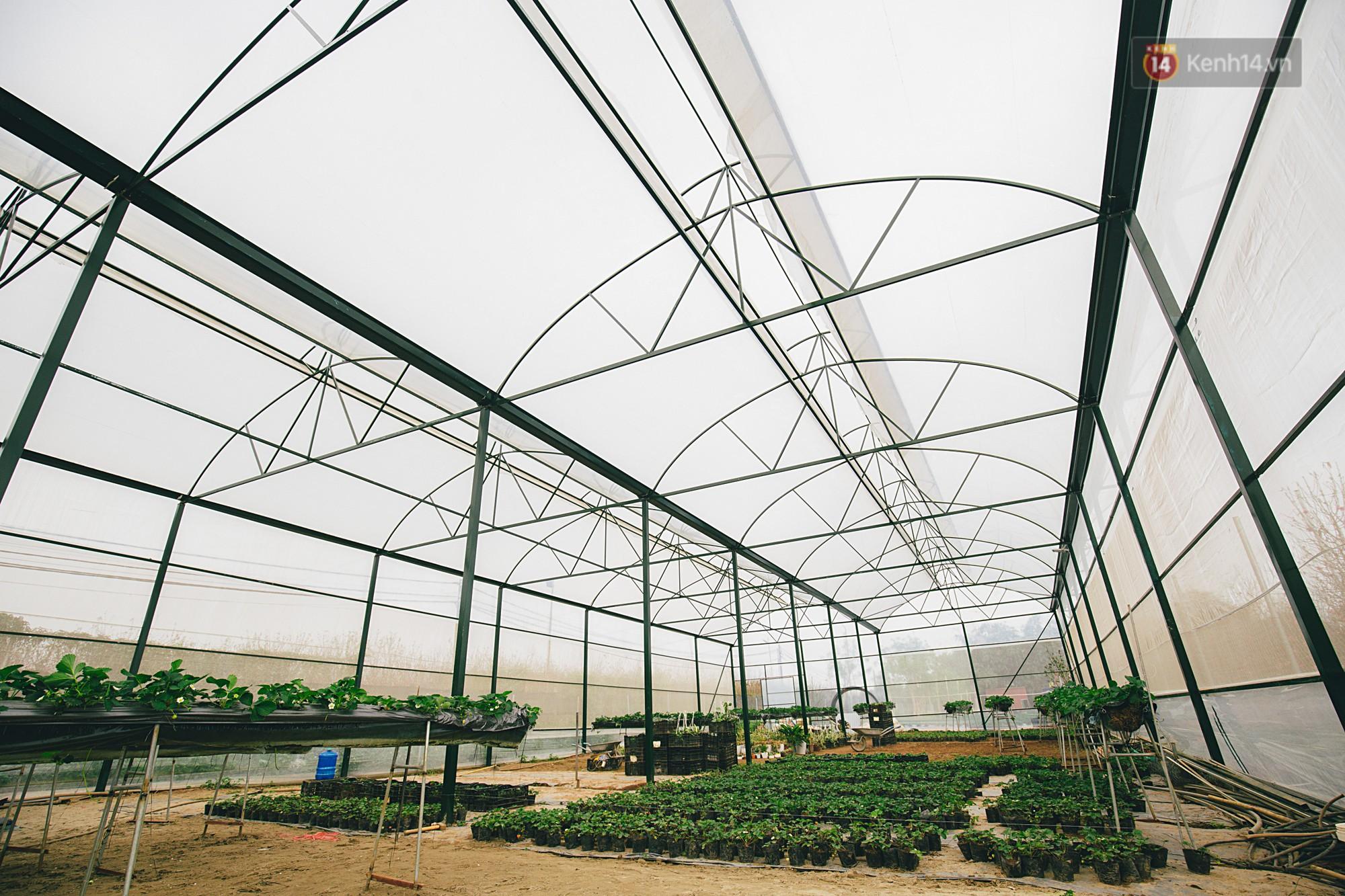 Không cần mất công đi Mộc Châu, một vườn dâu tây đã có ngay ở Hà Nội phục vụ Tết nguyên đán