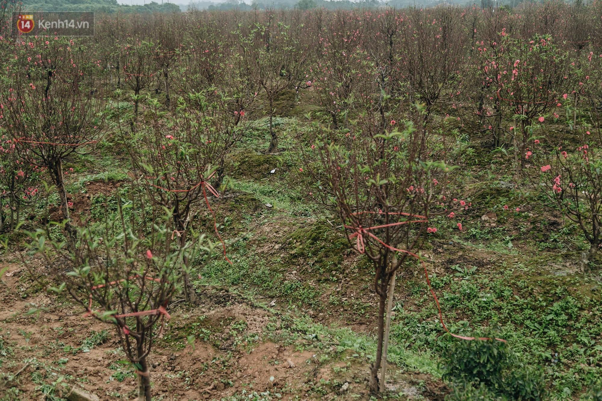 Gần 200 gốc đào của người dân Bắc Ninh bị chặt phá trong đêm: Tết năm nay còn chả có bánh chưng mà ăn - Ảnh 4.