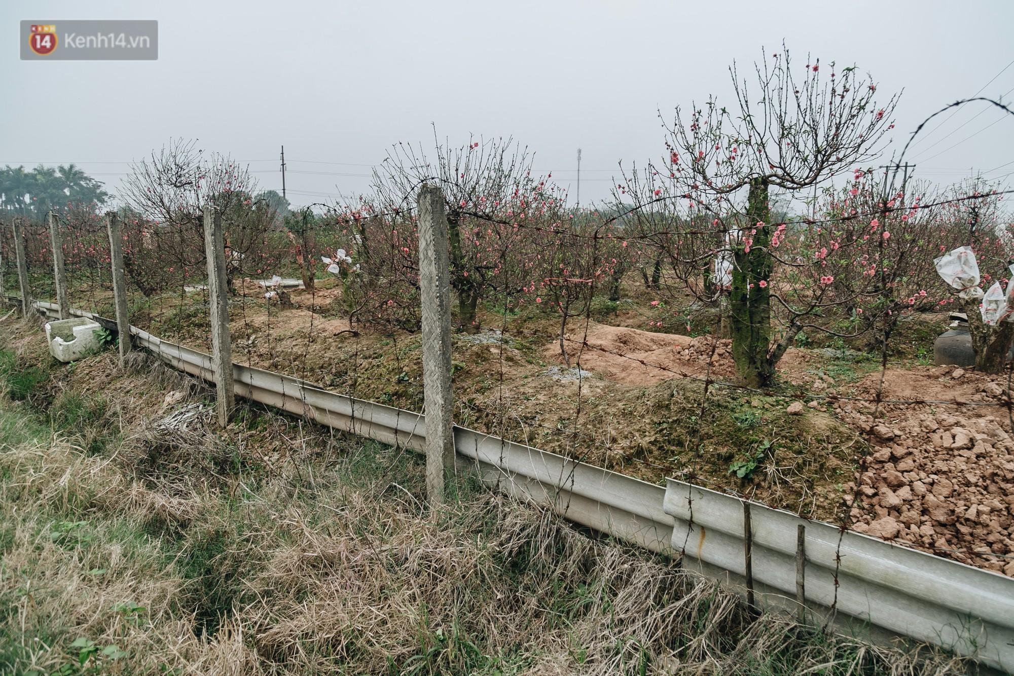 Gần 200 gốc đào của người dân Bắc Ninh bị chặt phá trong đêm: Tết năm nay còn chả có bánh chưng mà ăn - Ảnh 7.