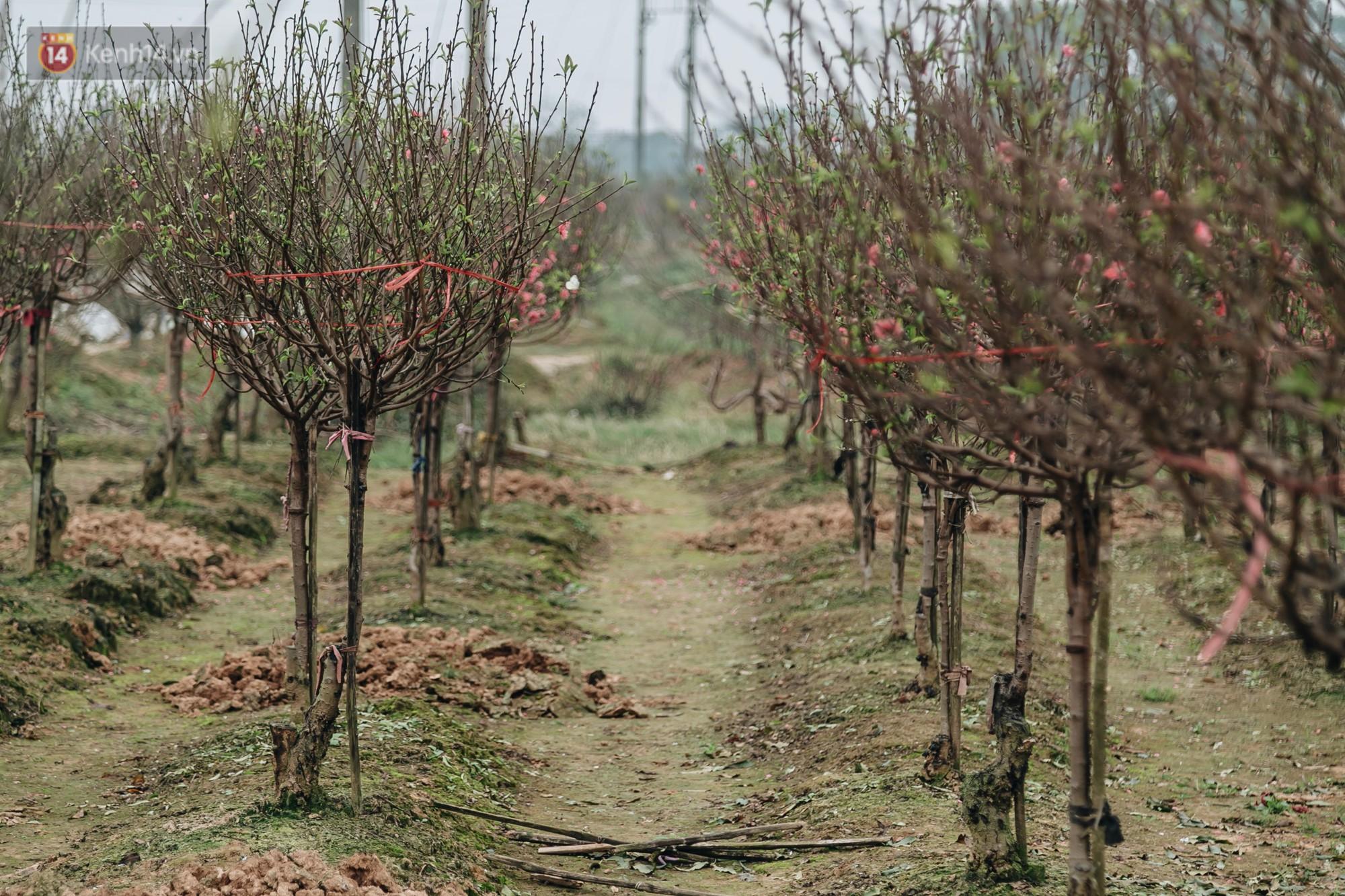 Gần 200 gốc đào của người dân Bắc Ninh bị chặt phá trong đêm: Tết năm nay còn chả có bánh chưng mà ăn - Ảnh 2.