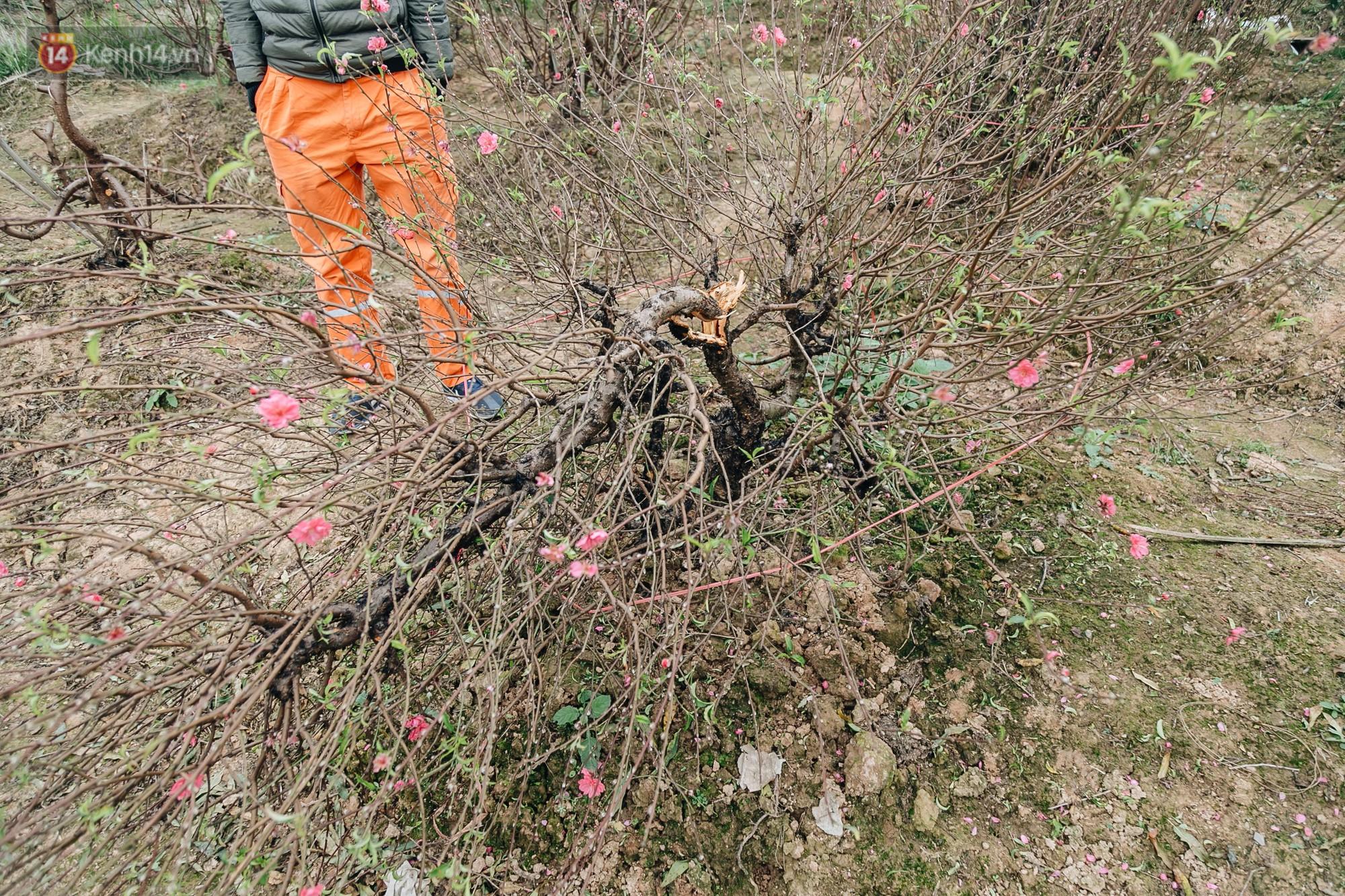Gần 200 gốc đào của người dân Bắc Ninh bị chặt phá trong đêm: Tết năm nay còn chả có bánh chưng mà ăn - Ảnh 10.