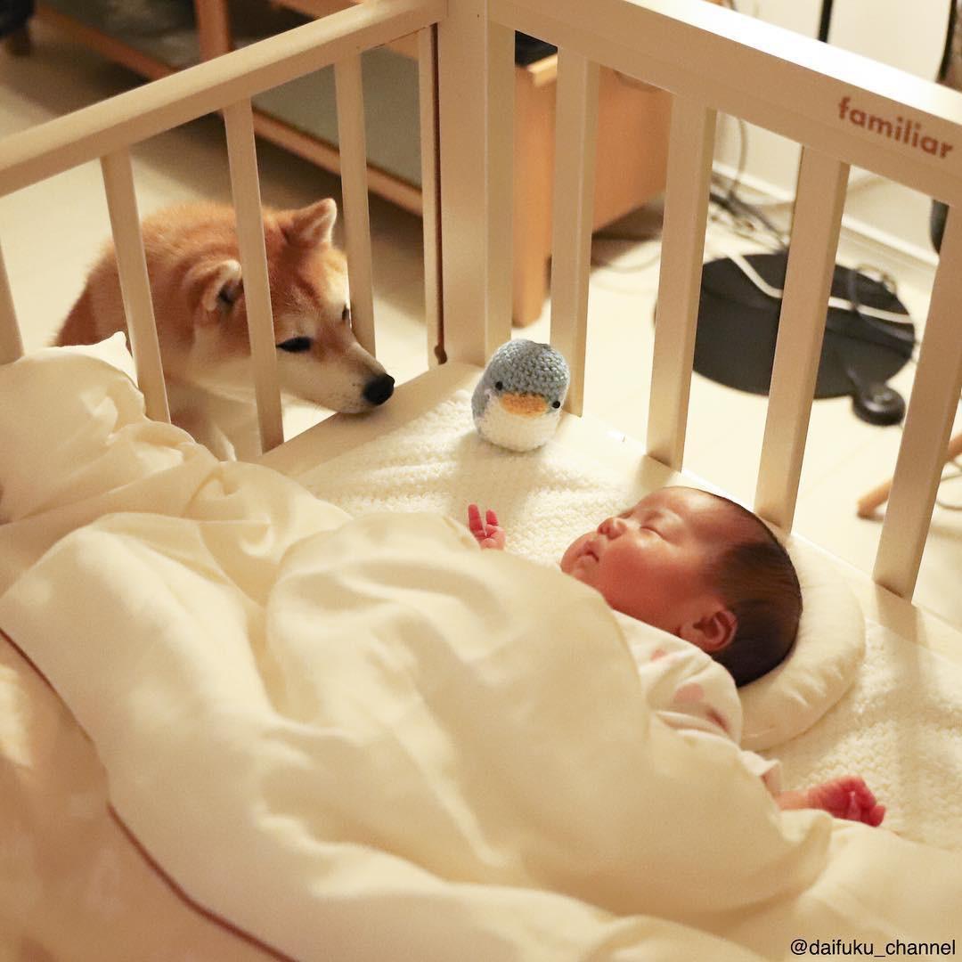 Không chỉ khôn ngoan và dễ thương, chú chó shiba biết dỗ trẻ đang khiến Internet tan chảy vì ngọt ngào quá! - Ảnh 11.