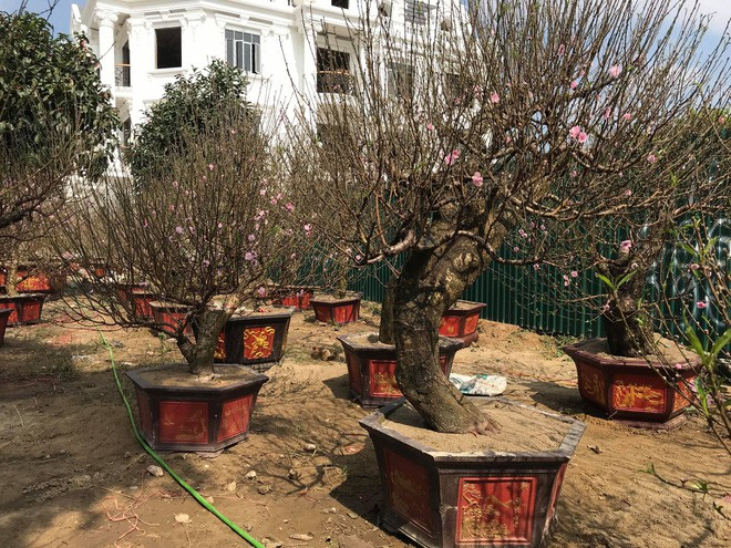 Cây quýt cổ thụ trồng trong rừng sâu, phải mất 5 ngày mới đưa được ra ngoài - Ảnh 2.