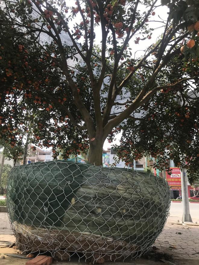 Cây quýt cổ thụ trồng trong rừng sâu, phải mất 5 ngày mới đưa được ra ngoài - Ảnh 11.
