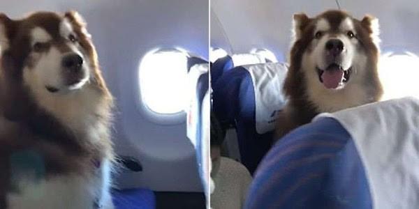 Clip: Chú chó Alaska háo hức khi lần đầu đi máy bay khiến dân mạng phát cuồng vì quá đáng yêu - Ảnh 2.