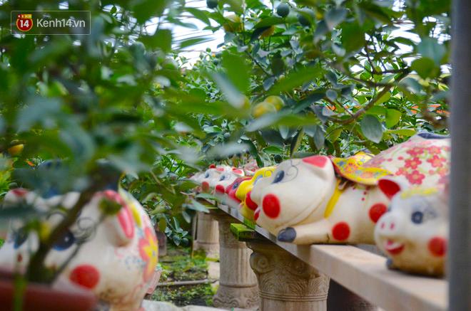 Ngộ nghĩnh những cây quất cảnh mọc trên lưng các chú con heo đất có giá hàng triệu đồng ở Hà Nội - Ảnh 3.