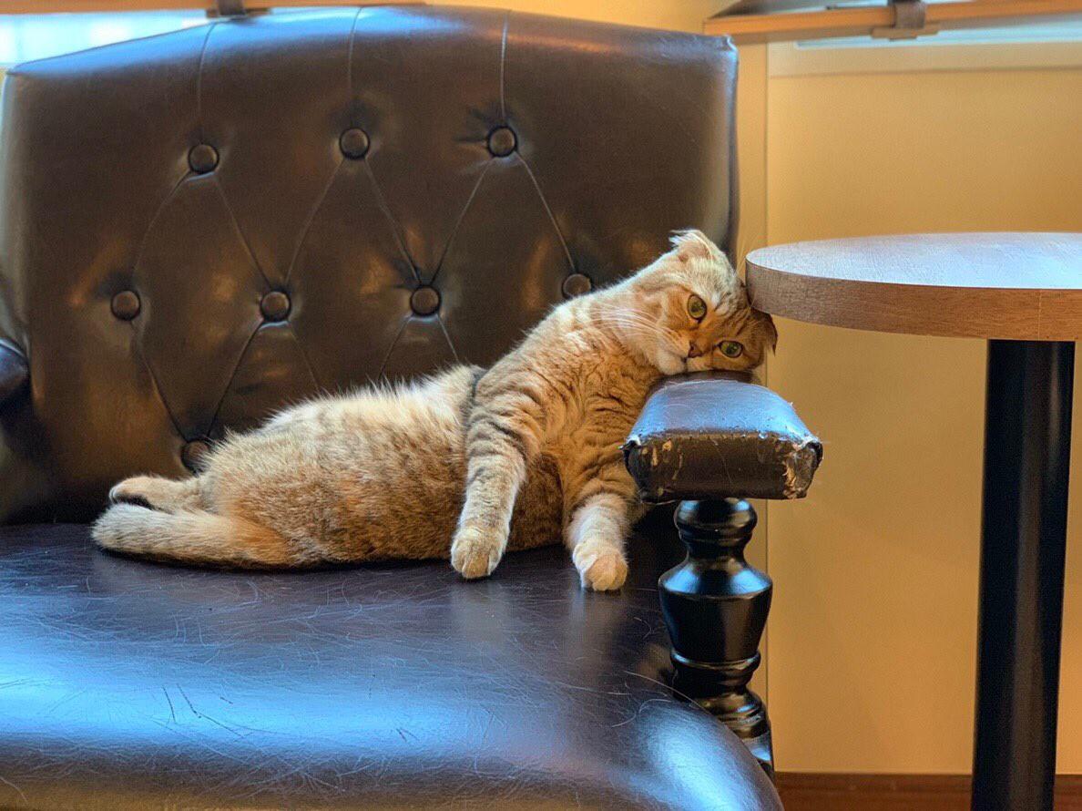 Không chỉ con người, đến cả mèo làm trong quán cà phê Nhật cũng xụi lơ vì Tết - Ảnh 2.