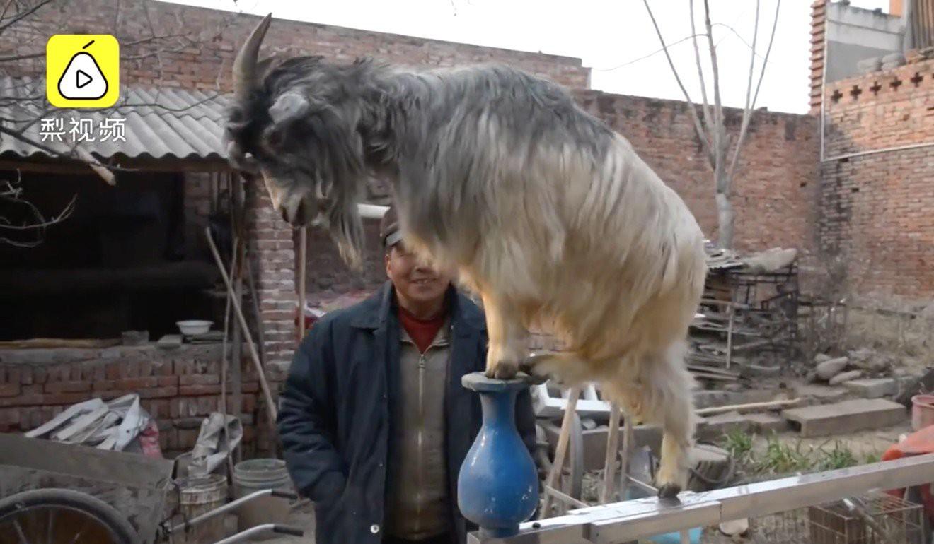 Ông chú Trung Quốc huấn luyện được đội gia súc chuyên diễn trò, có hẳn 1 con lợn làm taxi riêng cho mẹ - Ảnh 3.