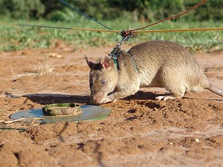 Voi sợ chuột, nhưng voi châu Phi lại đang được cứu nhờ chúng và đây là lý do - Ảnh 3.
