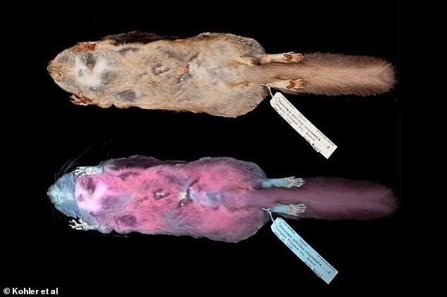 Bộ lông của loài vật này chói lòa màu hồng dưới tia UV và đây là lý do nó rất đặc biệt - Ảnh 3.