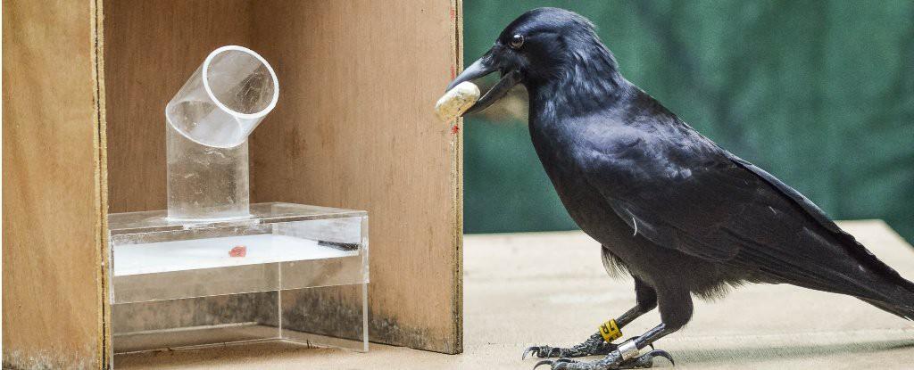 Nghiên cứu mới xác nhận một trong những loài chim thông minh nhất thế giới: QUẠ - Ảnh 1.