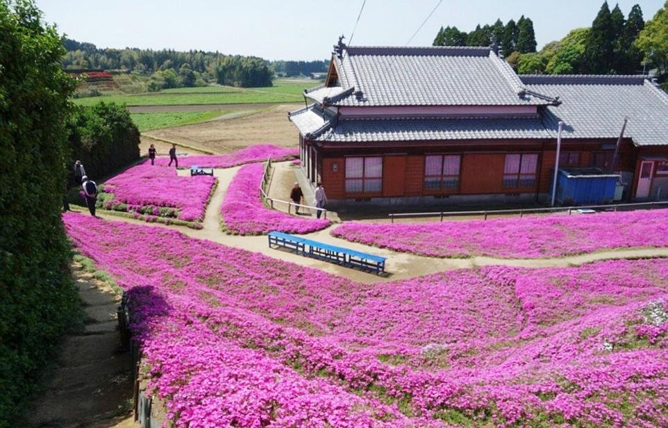 Người đàn ông Nhật Bản dành trọn tình yêu trồng đồi hoa trước nhà suốt 4 năm để tặng vợ mù lòa - Ảnh 1.