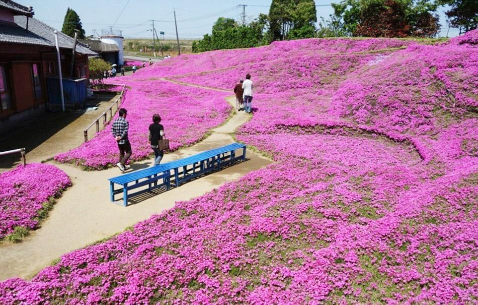 Người đàn ông Nhật Bản dành trọn tình yêu trồng đồi hoa trước nhà suốt 4 năm để tặng vợ mù lòa - Ảnh 16.