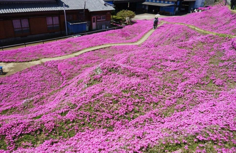 Người đàn ông Nhật Bản dành trọn tình yêu trồng đồi hoa trước nhà suốt 4 năm để tặng vợ mù lòa - Ảnh 17.