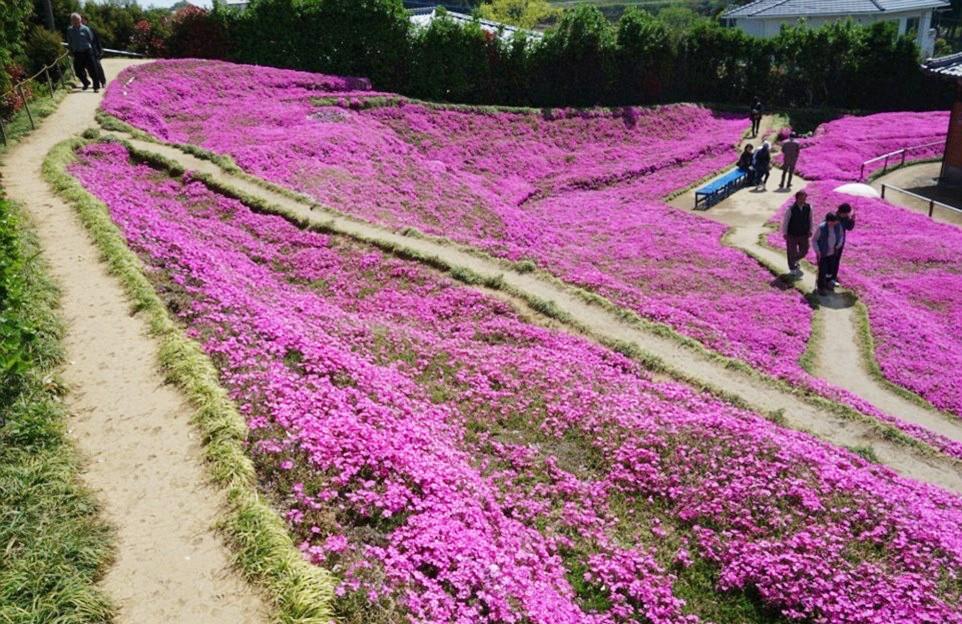 Người đàn ông Nhật Bản dành trọn tình yêu trồng đồi hoa trước nhà suốt 4 năm để tặng vợ mù lòa - Ảnh 18.