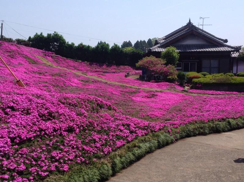 Người đàn ông Nhật Bản dành trọn tình yêu trồng đồi hoa trước nhà suốt 4 năm để tặng vợ mù lòa - Ảnh 19.