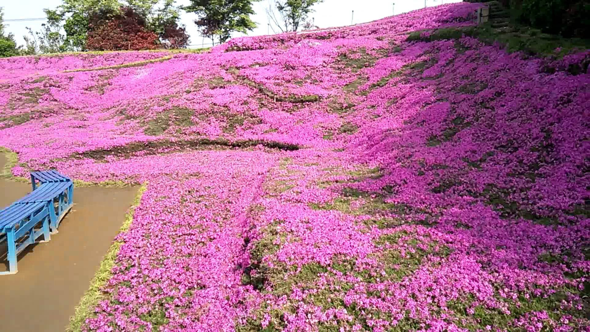 Người đàn ông Nhật Bản dành trọn tình yêu trồng đồi hoa trước nhà suốt 4 năm để tặng vợ mù lòa - Ảnh 20.