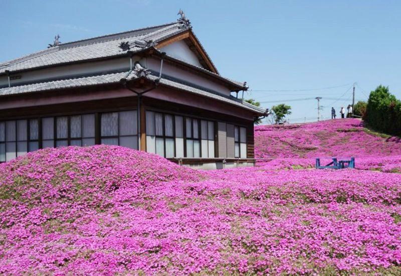 Người đàn ông Nhật Bản dành trọn tình yêu trồng đồi hoa trước nhà suốt 4 năm để tặng vợ mù lòa - Ảnh 3.