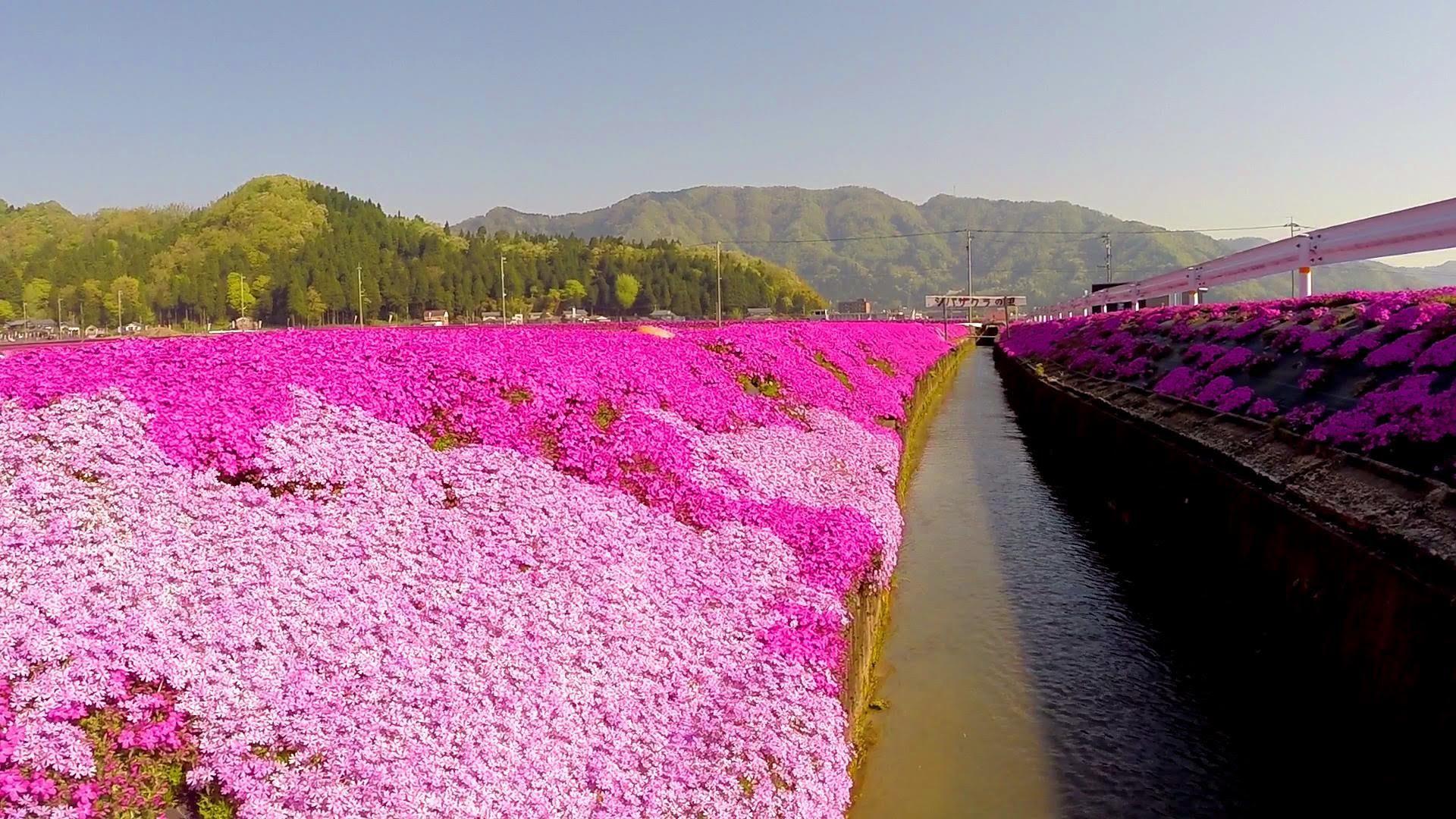 Người đàn ông Nhật Bản dành trọn tình yêu trồng đồi hoa trước nhà suốt 4 năm để tặng vợ mù lòa - Ảnh 21.