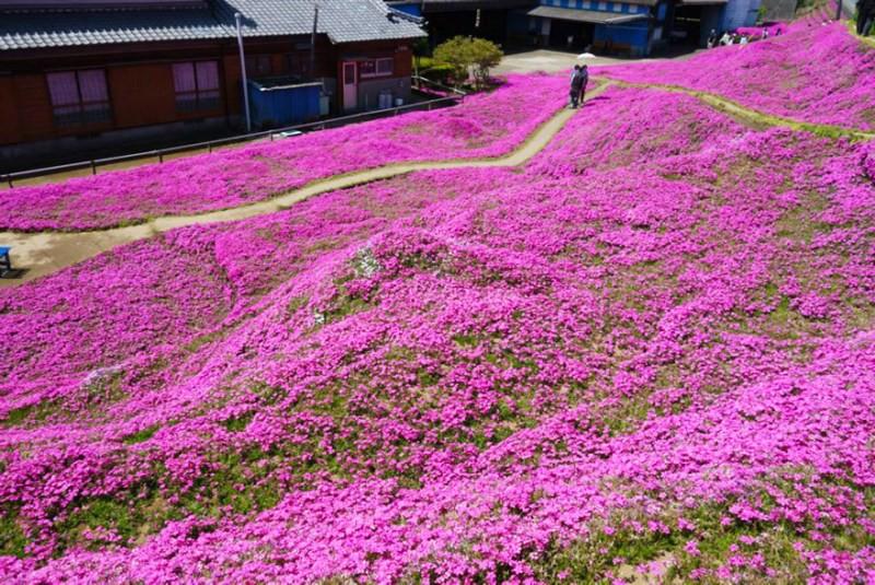 Người đàn ông Nhật Bản dành trọn tình yêu trồng đồi hoa trước nhà suốt 4 năm để tặng vợ mù lòa - Ảnh 23.