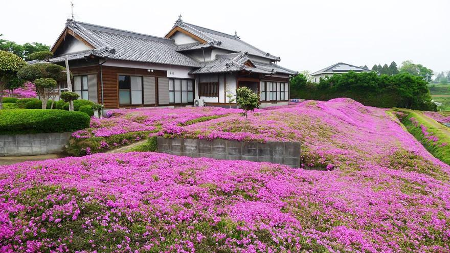 Người đàn ông Nhật Bản dành trọn tình yêu trồng đồi hoa trước nhà suốt 4 năm để tặng vợ mù lòa - Ảnh 24.