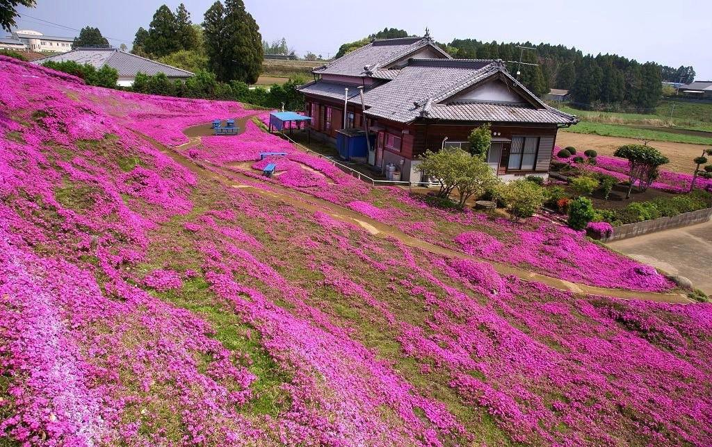 Người đàn ông Nhật Bản dành trọn tình yêu trồng đồi hoa trước nhà suốt 4 năm để tặng vợ mù lòa - Ảnh 4.