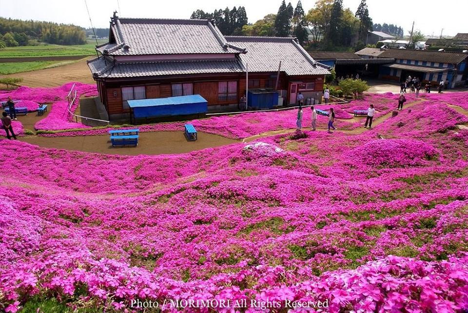 Người đàn ông Nhật Bản dành trọn tình yêu trồng đồi hoa trước nhà suốt 4 năm để tặng vợ mù lòa - Ảnh 5.