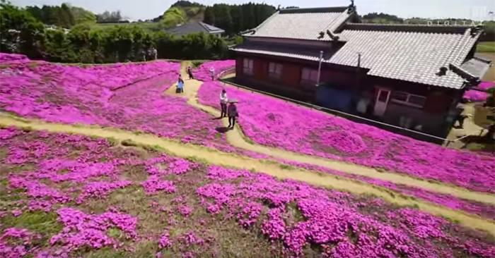 Người đàn ông Nhật Bản dành trọn tình yêu trồng đồi hoa trước nhà suốt 4 năm để tặng vợ mù lòa - Ảnh 10.