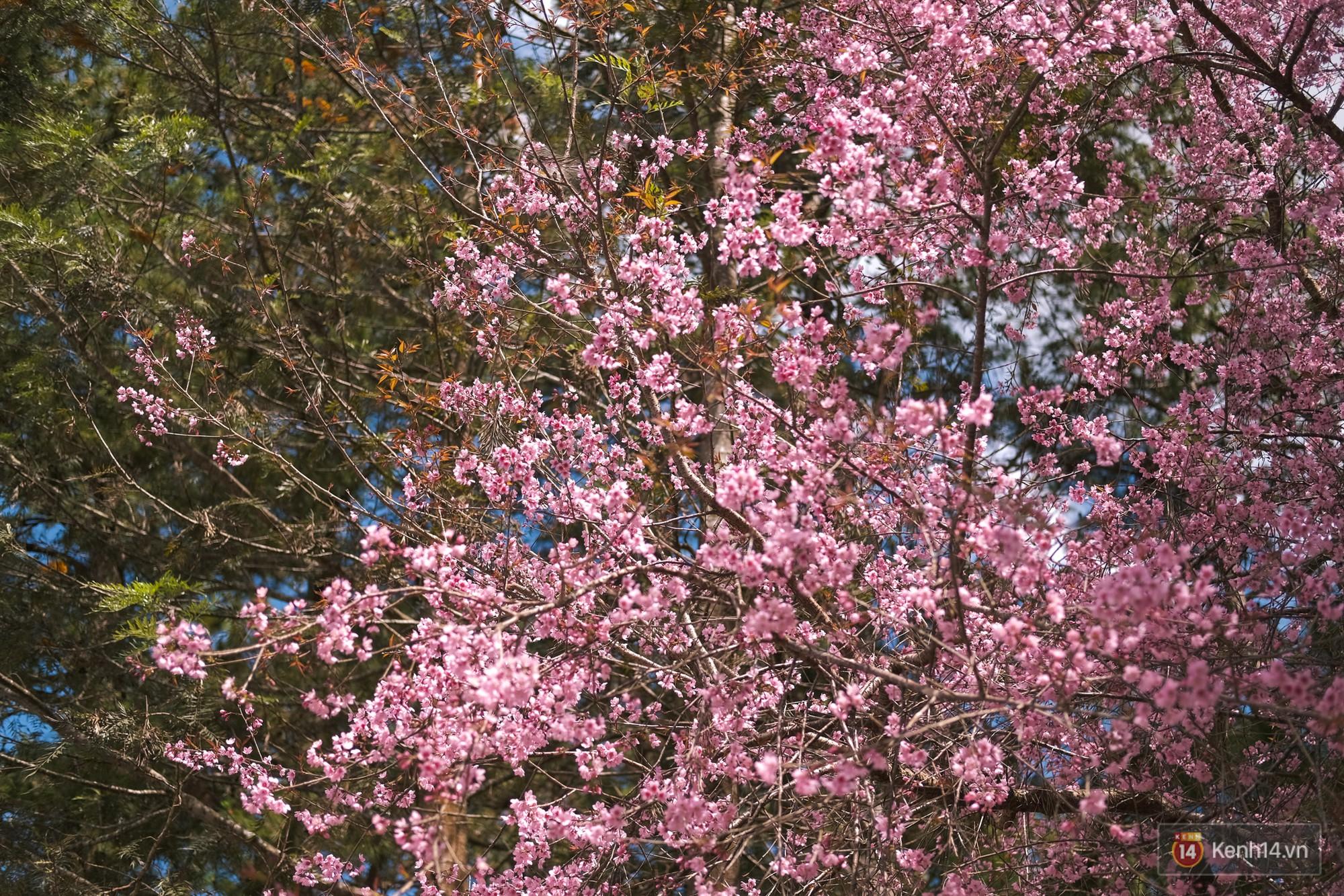 Mai anh đào nở muộn đang nhuộm hồng Đà Lạt - lại có cớ để lên đây ểnh ương ngắm hoa rồi! - Ảnh 3.
