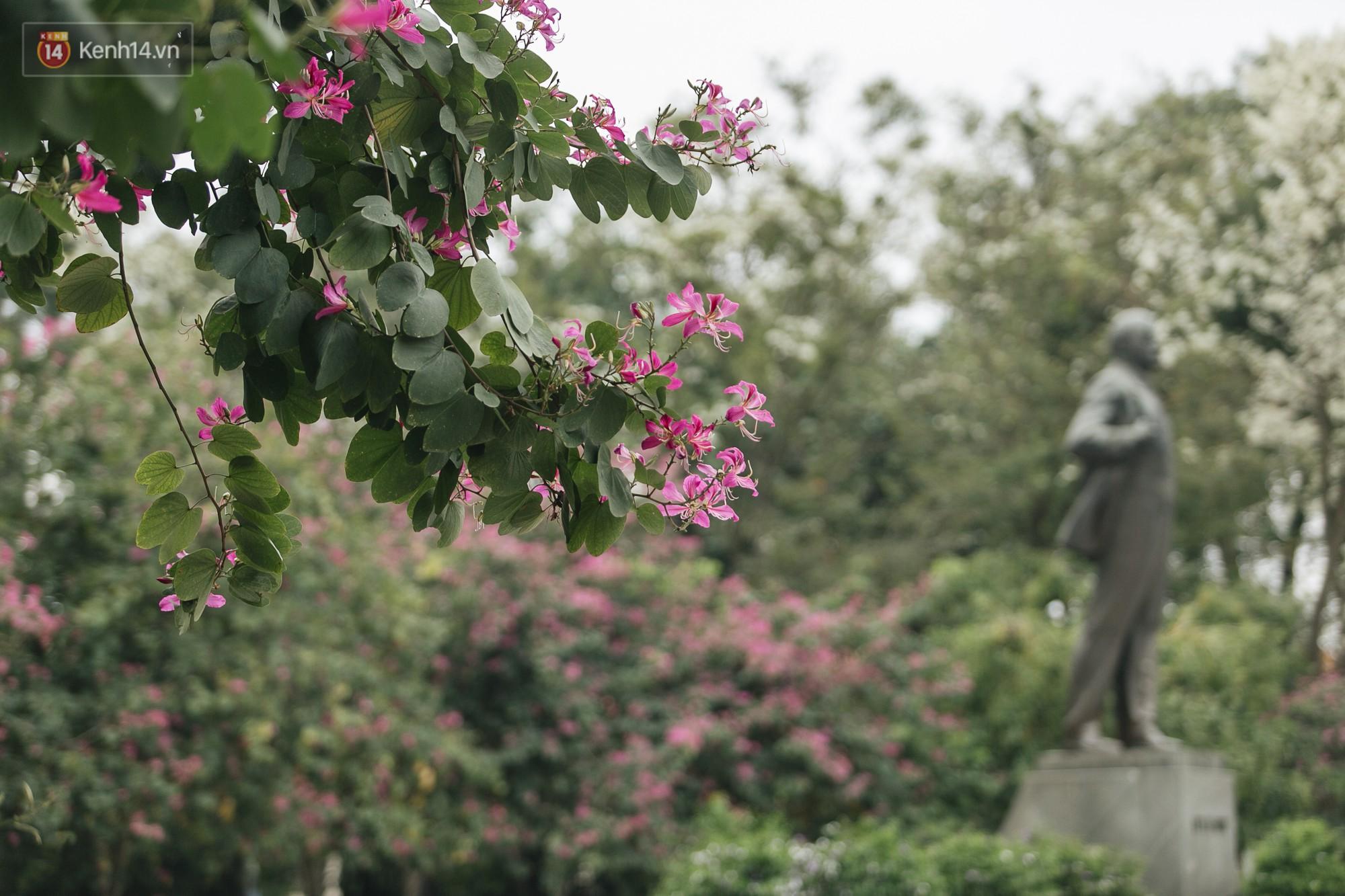 Không cần lên Tây Bắc, hoa ban vẫn bừng nở giữa đất trời Hà Nội cho người dân thỏa sức check-in - Ảnh 3.