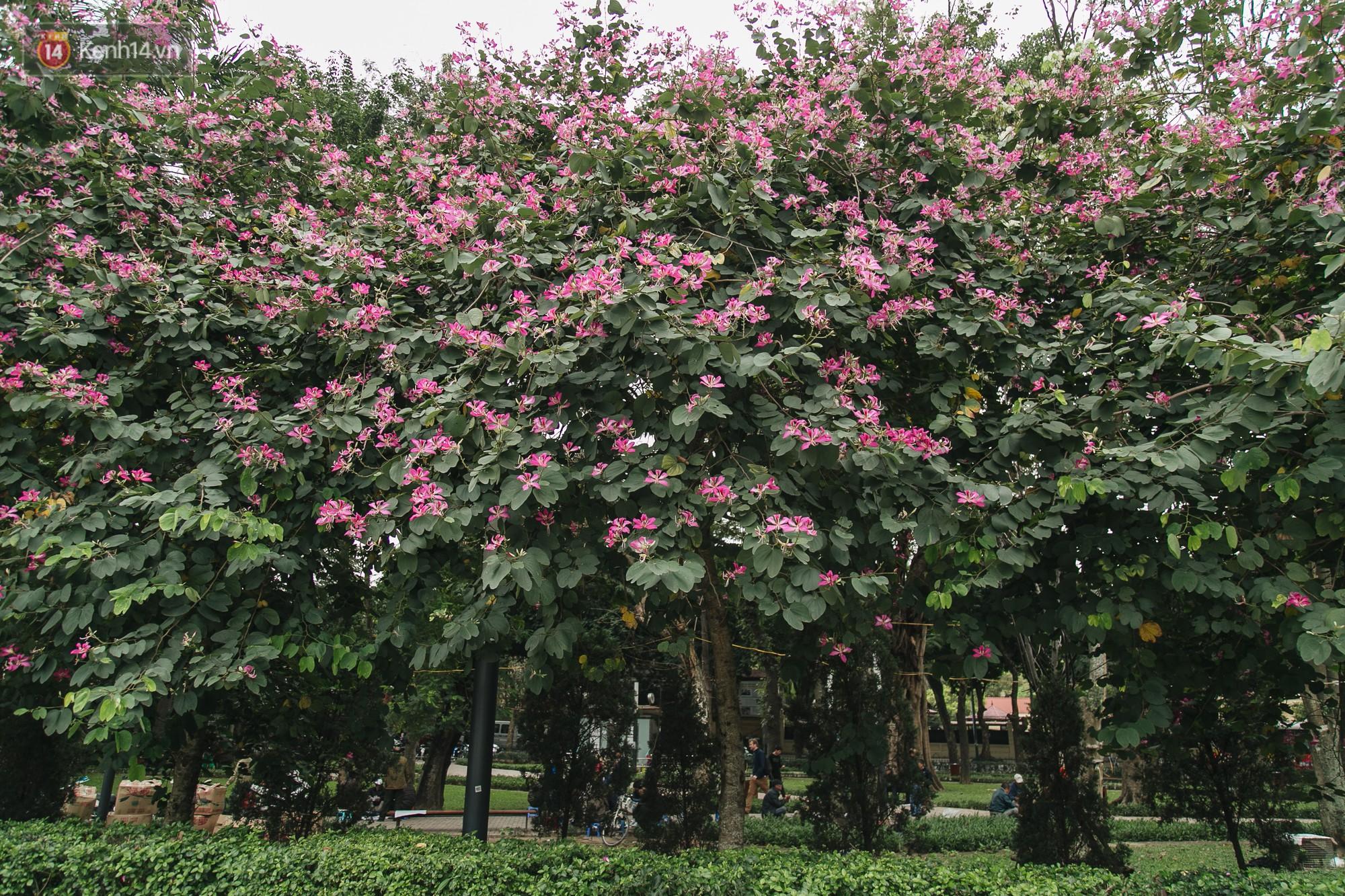 Không cần lên Tây Bắc, hoa ban vẫn bừng nở giữa đất trời Hà Nội cho người dân thỏa sức check-in - Ảnh 5.