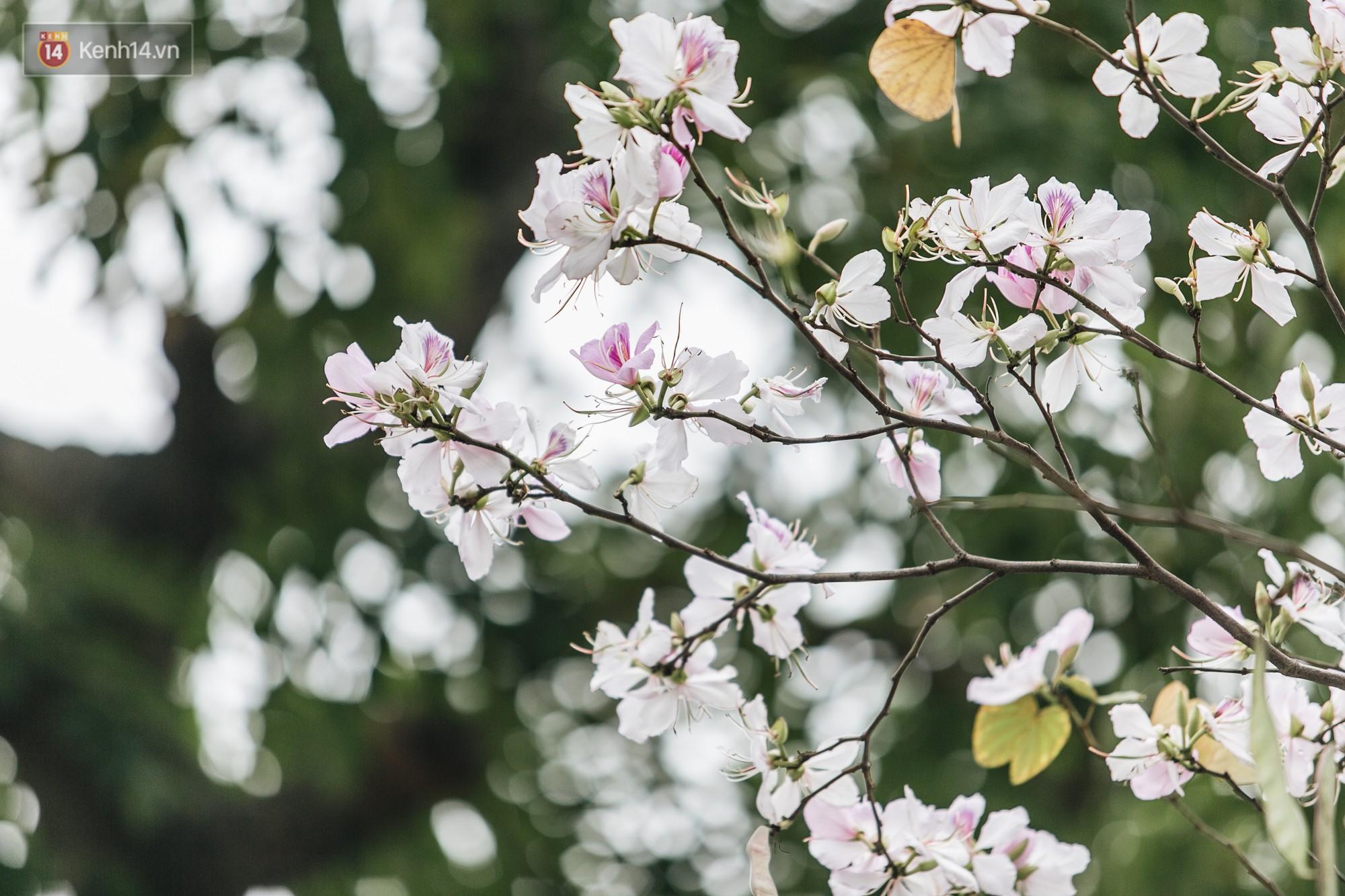 Không cần lên Tây Bắc, hoa ban vẫn bừng nở giữa đất trời Hà Nội cho người dân thỏa sức check-in - Ảnh 7.
