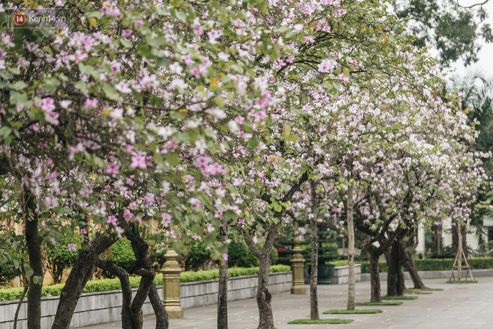 Không cần lên Tây Bắc, hoa ban vẫn bừng nở giữa đất trời Hà Nội cho người dân thỏa sức check-in - Ảnh 1.
