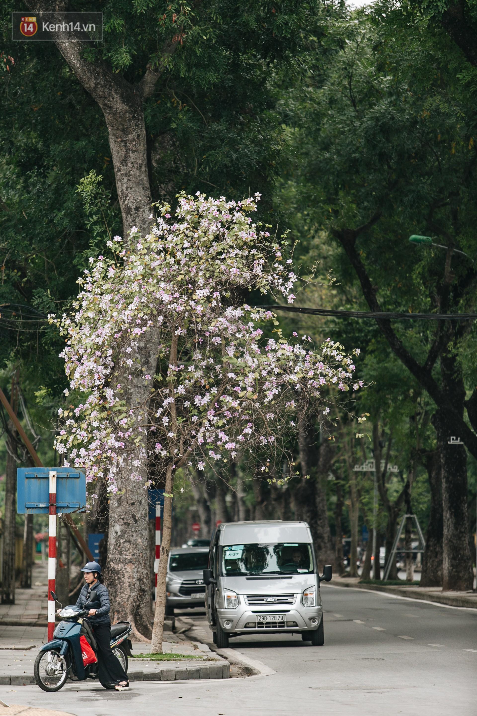 Không cần lên Tây Bắc, hoa ban vẫn bừng nở giữa đất trời Hà Nội cho người dân thỏa sức check-in - Ảnh 13.