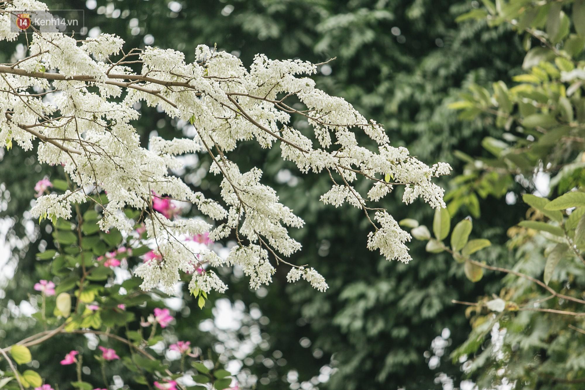 Không cần lên Tây Bắc, hoa ban vẫn bừng nở giữa đất trời Hà Nội cho người dân thỏa sức check-in - Ảnh 10.