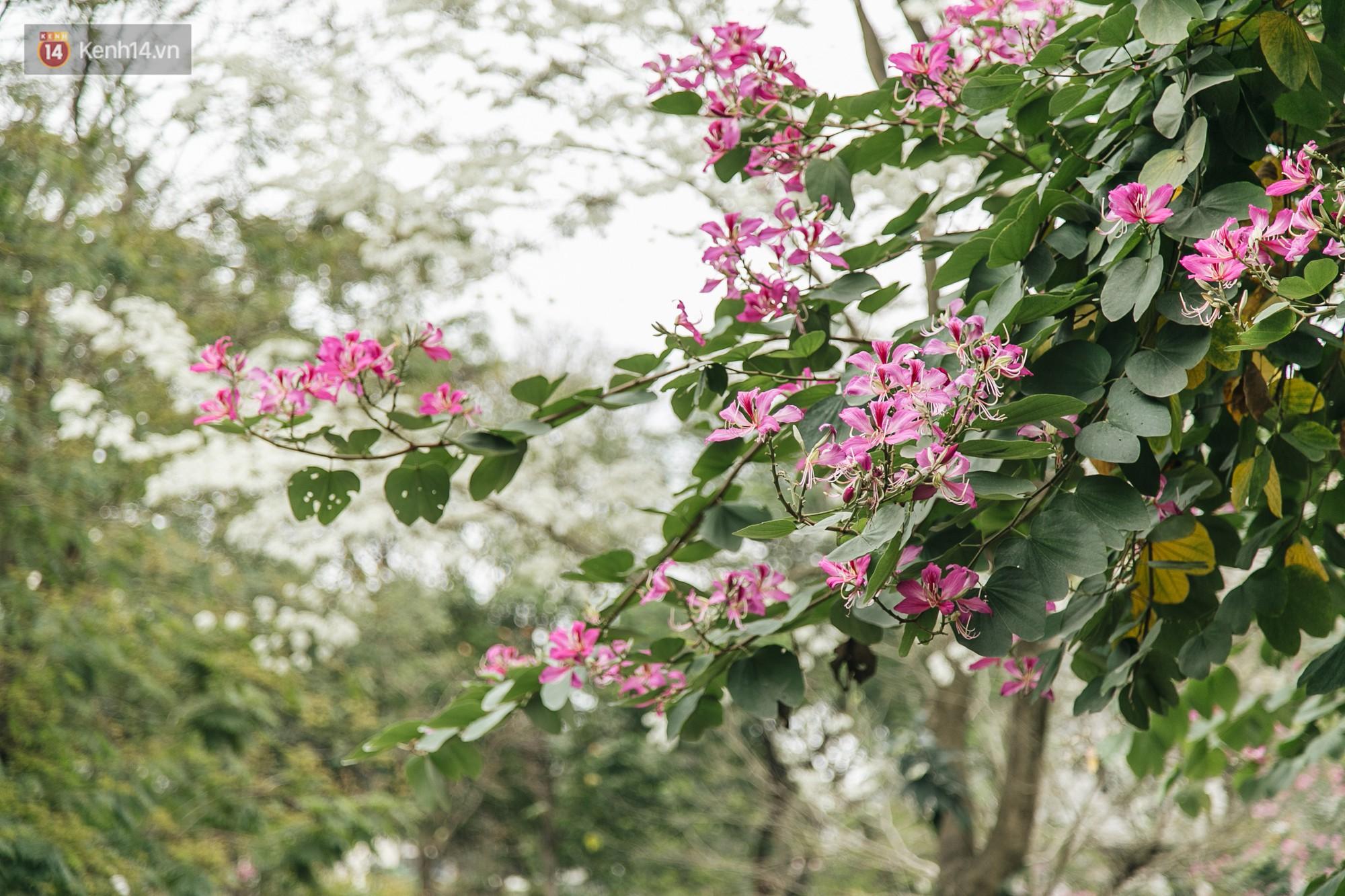 Không cần lên Tây Bắc, hoa ban vẫn bừng nở giữa đất trời Hà Nội cho người dân thỏa sức check-in - Ảnh 2.