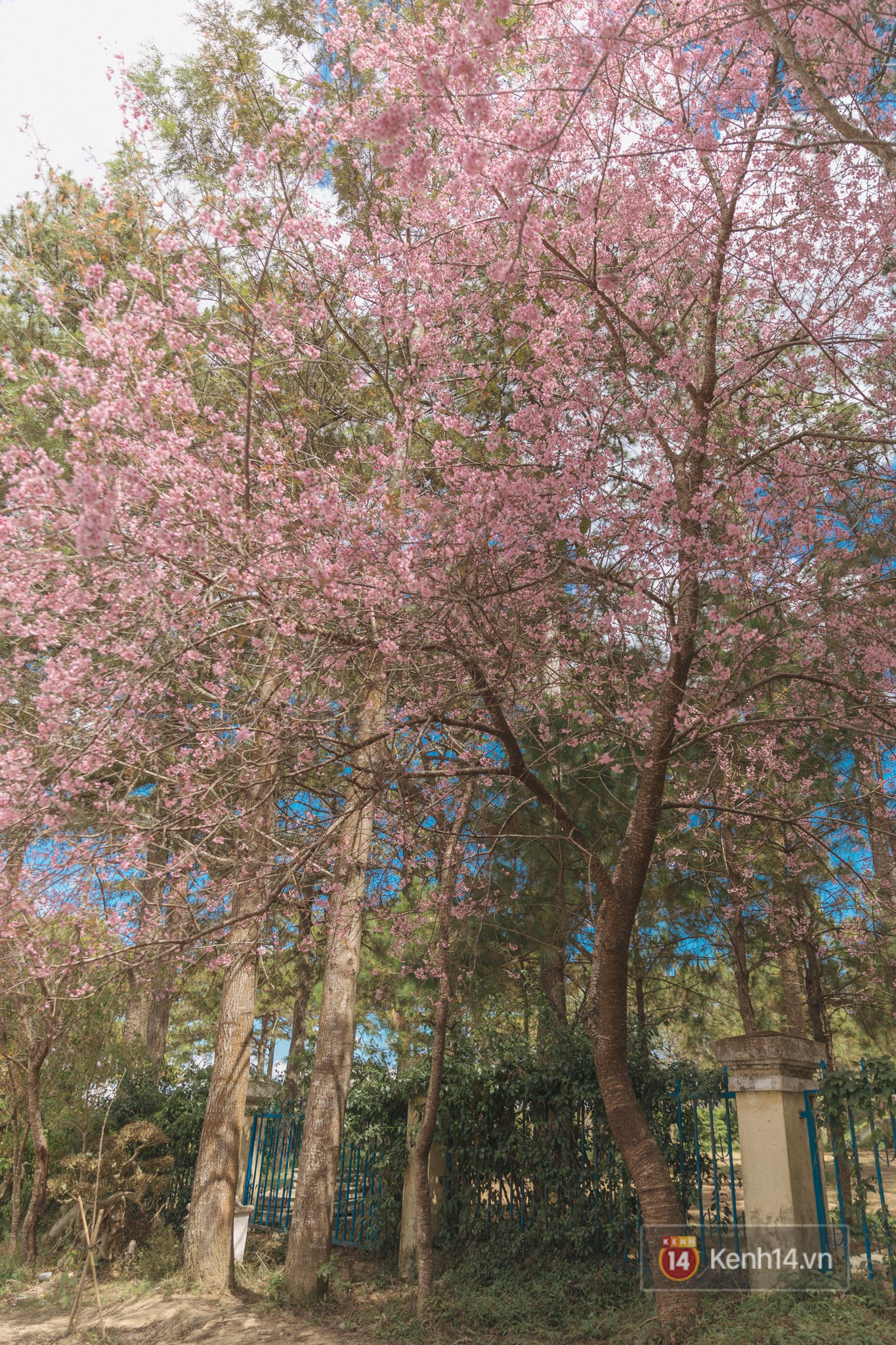 Mai anh đào nở muộn đang nhuộm hồng Đà Lạt - lại có cớ để lên đây ểnh ương ngắm hoa rồi! - Ảnh 1.