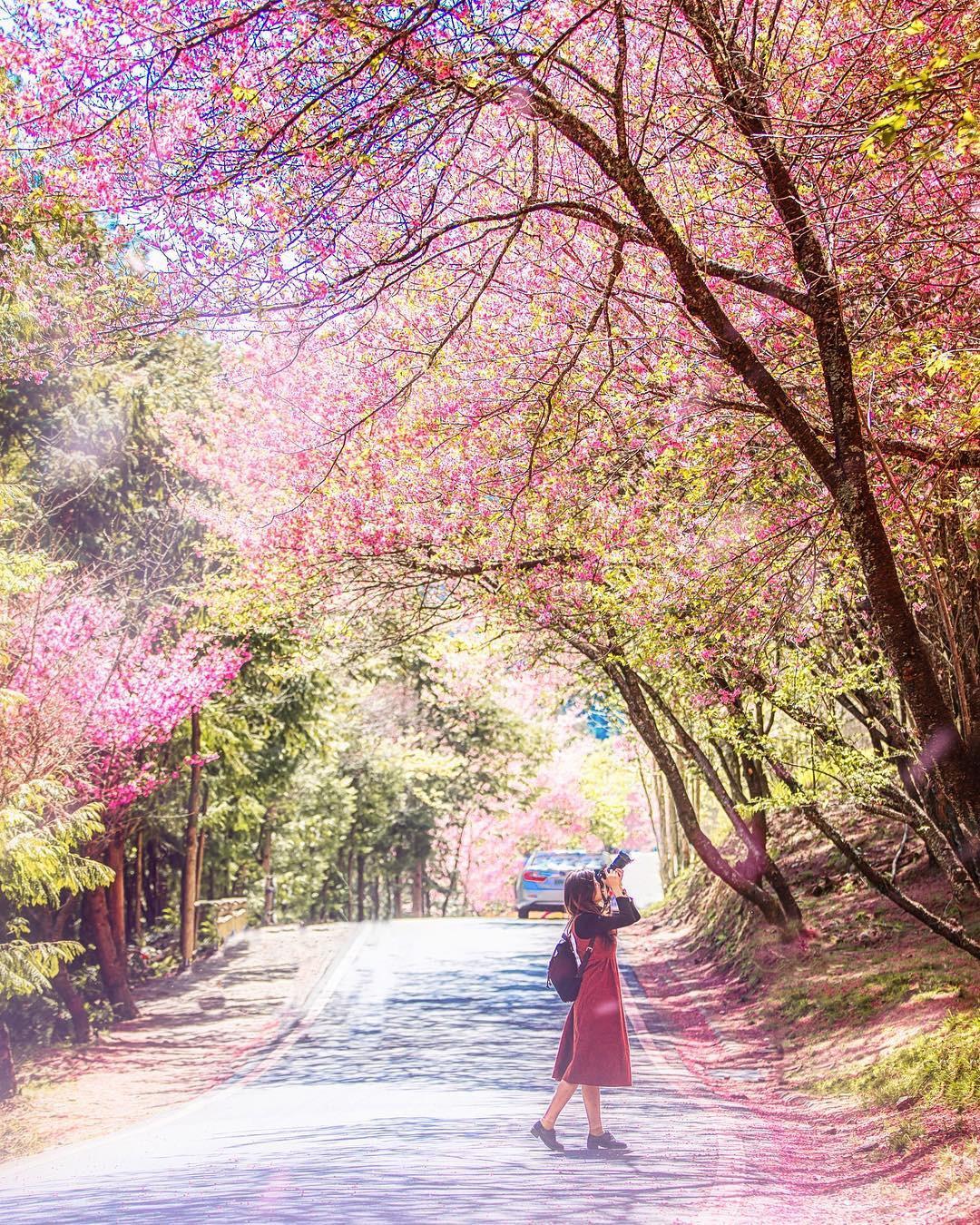 Đài Loan: Hoa anh đào lại nở rợp trời, tạo điều kiện cho trai gái dập dìu chơi xuân - Ảnh 14.