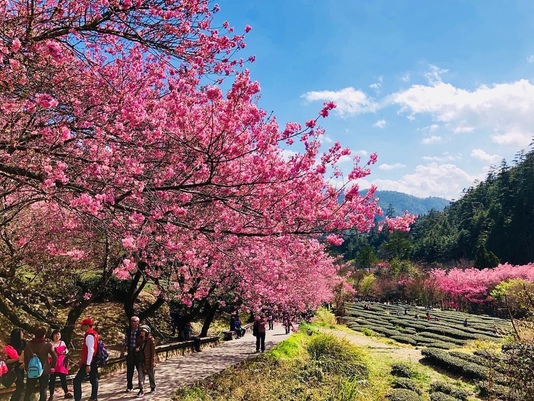 Đài Loan: Hoa anh đào lại nở rợp trời, tạo điều kiện cho trai gái dập dìu chơi xuân - Ảnh 13.