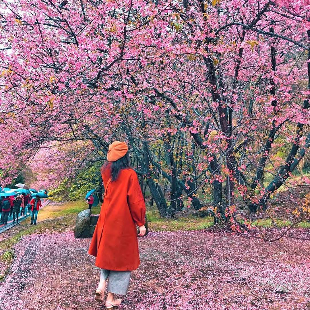 Đài Loan: Hoa anh đào lại nở rợp trời, tạo điều kiện cho trai gái dập dìu chơi xuân - Ảnh 7.
