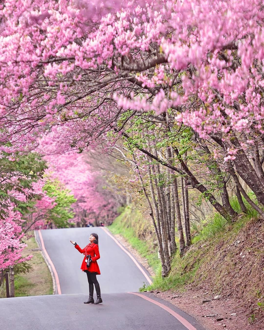 Đài Loan: Hoa anh đào lại nở rợp trời, tạo điều kiện cho trai gái dập dìu chơi xuân - Ảnh 6.
