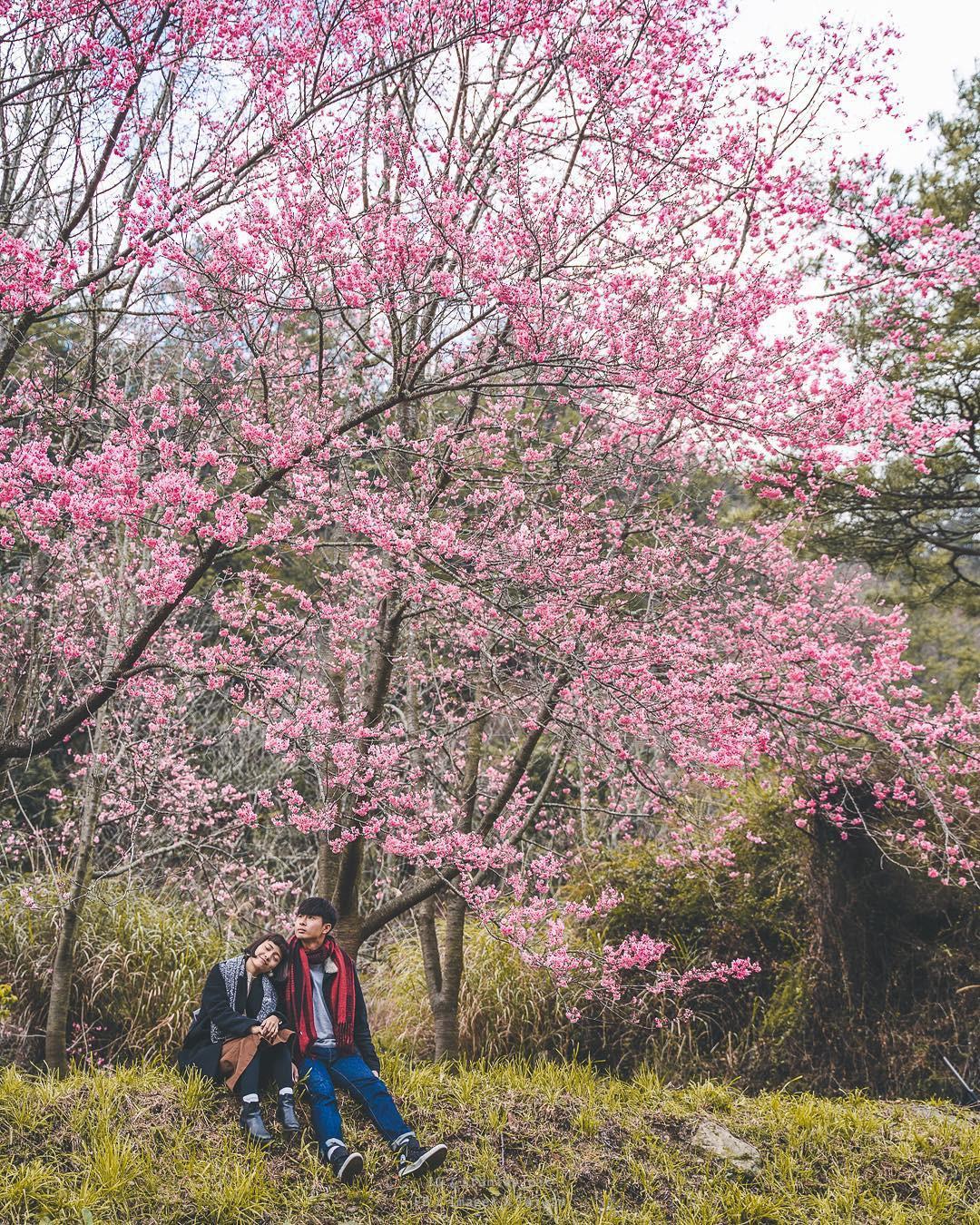 Đài Loan: Hoa anh đào lại nở rợp trời, tạo điều kiện cho trai gái dập dìu chơi xuân - Ảnh 11.