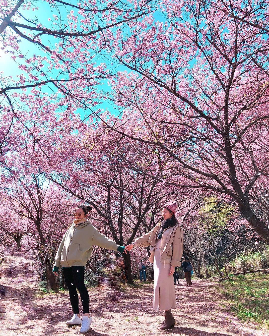 Đài Loan: Hoa anh đào lại nở rợp trời, tạo điều kiện cho trai gái dập dìu chơi xuân - Ảnh 2.
