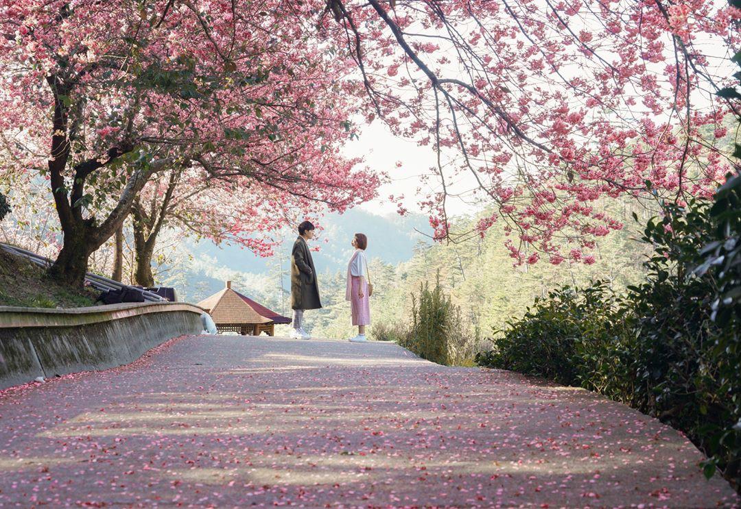 Đài Loan: Hoa anh đào lại nở rợp trời, tạo điều kiện cho trai gái dập dìu chơi xuân - Ảnh 1.