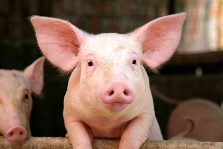 4 chú lợn đáng yêu nhất phim Hàn Quốc: Bất ngờ và cute nhất là chú cuối cùng! - Ảnh 1.